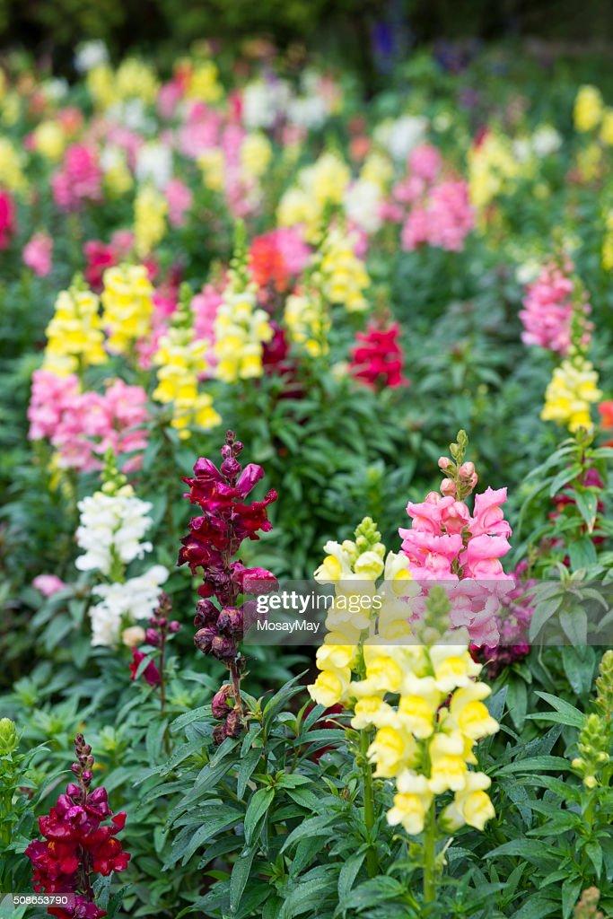 beautiful flower in garden : Stock Photo