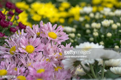 Beautiful flowers in the garden : Stock Photo
