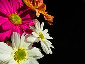 Beautiful flowers of Chrysanthemum. Floral background.