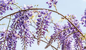 Beautiful flowers of purple Wisteria sinensis blooming and blossom tree with blue sky background close up selective focus