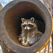 beautiful fluffy raccoon, sitting in the hollow and looks out of it. in nature