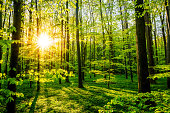 Sunset in the forest at springtime