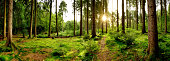 Sunrise in a beautiful forest in Germany