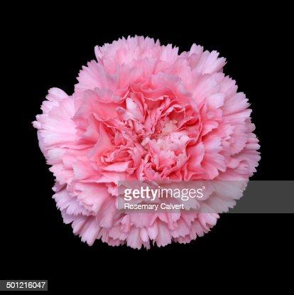 Beautiful fragrant pink carnation