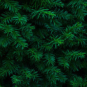 Christmas background / backdrop. Beautiful fresh blue green natural christmas tree branches