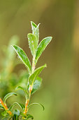 Beautiful, fresh, vibrant leaves of a bog myrtle after the rain. Shallow depth of field closeup macro photo.