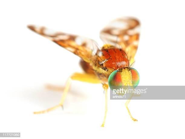 Schöne Obst Fly