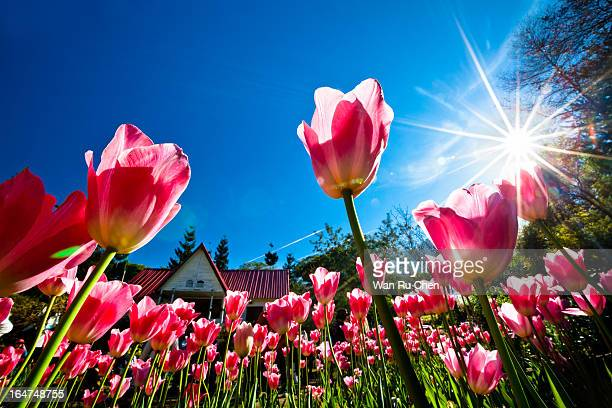 Beautiful garden with blooming tulips