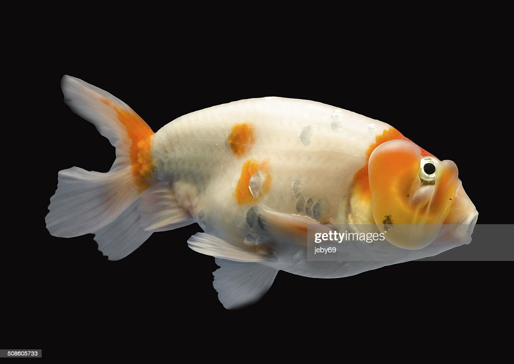 Hermoso pez dorado aislado sobre fondo negro : Foto de stock