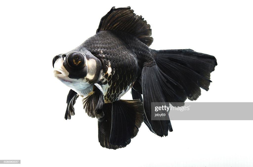 Schöne Gold Fische, isoliert auf weißem Hintergrund : Stock-Foto