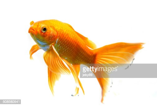 Beautiful Gold fish isolated on white background : Stockfoto