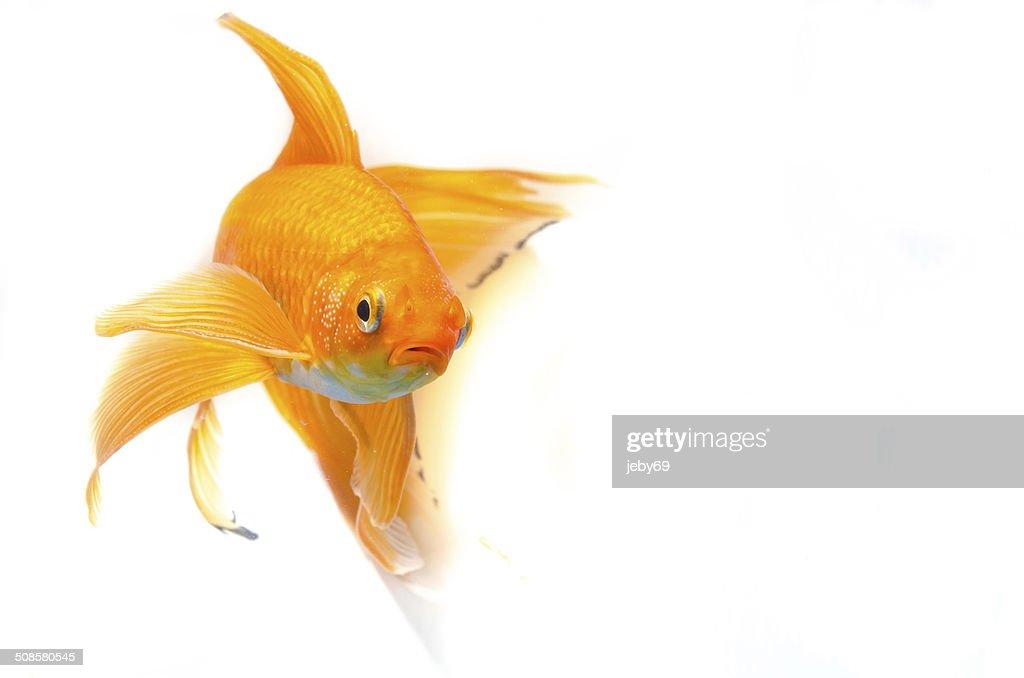 Beautiful Gold fish isolated on white background : Bildbanksbilder