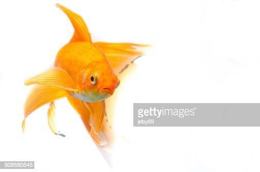 Bellissimo Pesce d'oro isolato su sfondo bianco : Foto stock