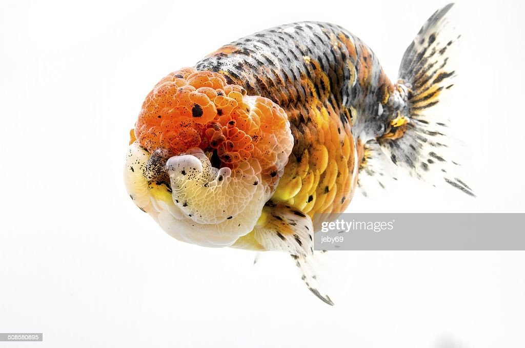 Beautiful Gold fish isolated on white background : Bildbanksbilder
