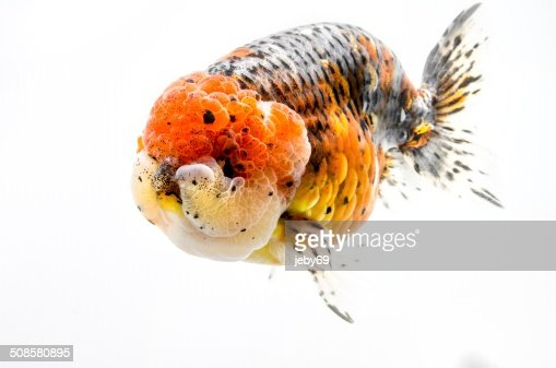 Beautiful Gold fish isolated on white background : Stock Photo