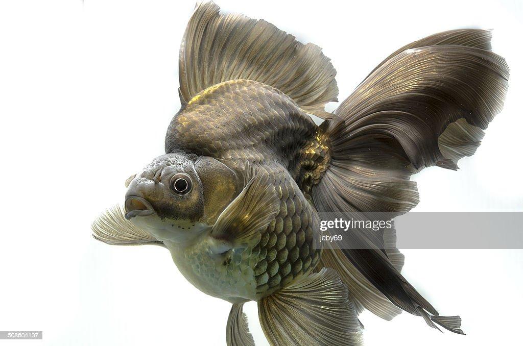 Hermosa pez dorado aislado sobre fondo blanco : Foto de stock