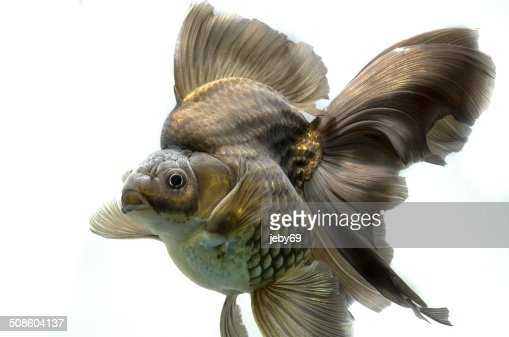 Beautiful Gold fish isolated on white background : Stock Photo