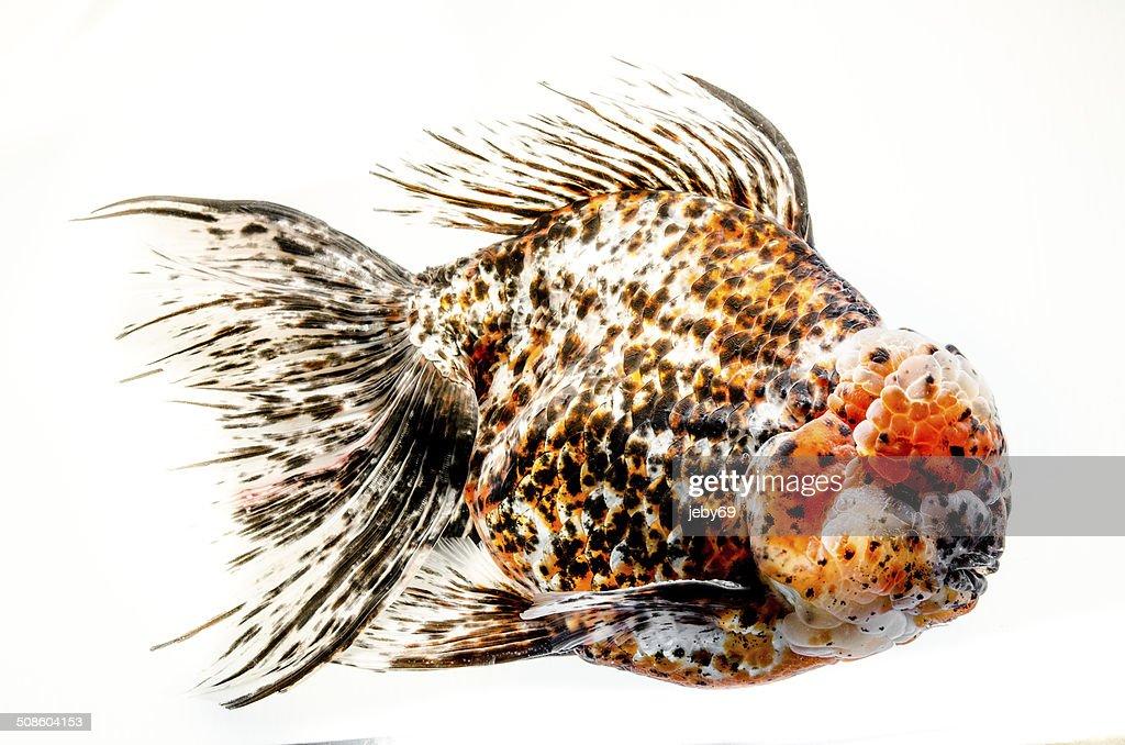 Bonito Peixe dourado isolado em fundo branco : Foto de stock
