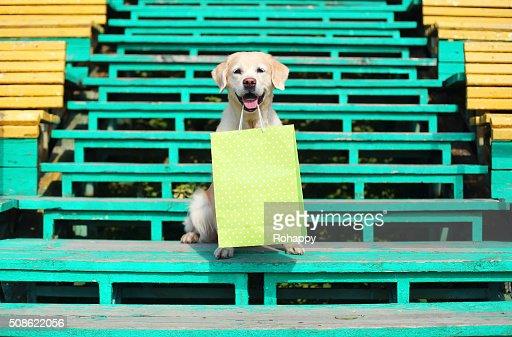 Beautiful Golden Retriever dog holding green shopping bag in teeth : Stock Photo