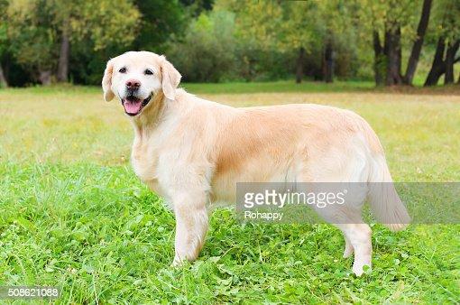 Beautiful Golden Retriever dog on grass in summer day : Stock Photo