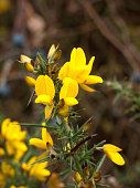 beautiful golden yellow flowering blooming gorse prickly plan shrub close up; essex; england; uk