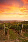 Beautiful grape vines in Moravia, toned at sunset