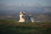 Beautiful gray Siberian Husky lies in the green grass against the backdrop of mountains