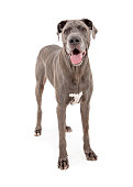 Pretty large Great Dane breed dog standing on a white studio background and looking forward