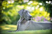 A gorgeous Blue Great Dane relaxing in a beautiful outdoor setting.