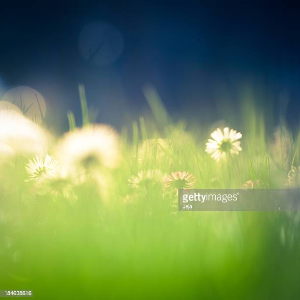 Beautiful green field with daisies