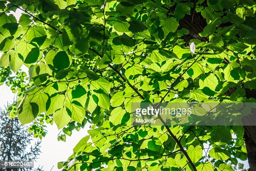 Beautiful green foliage : Stock Photo