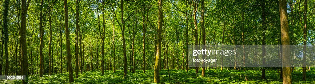 Bella Verde fogliame foresta glade felci riscaldato dal sole woodland panorama : Foto stock