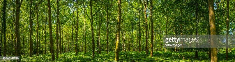 Beautiful green forest glade ferns foliage dappled sunlight woodland panorama