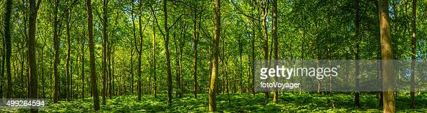 Beautiful green forest glade ferns foliage dappled sunlight woodland panorama