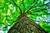 beautiful green tree, seen from below