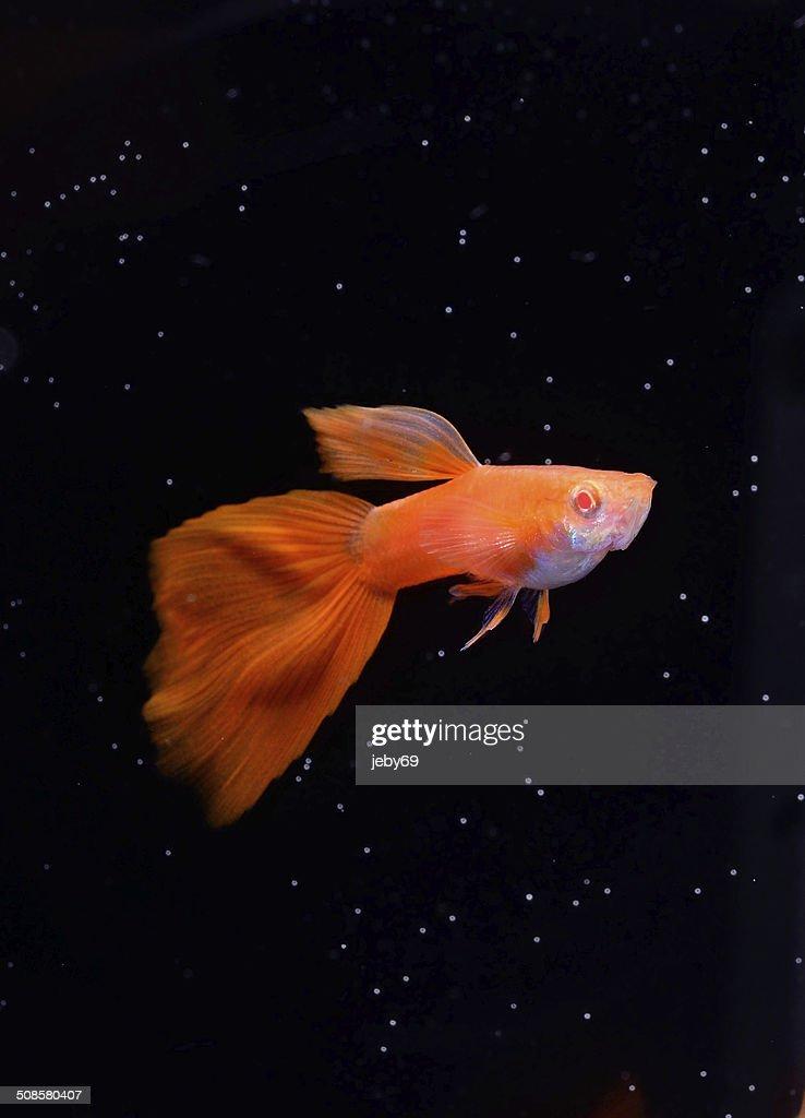Beautiful Guppy isolated on Black : Stock Photo