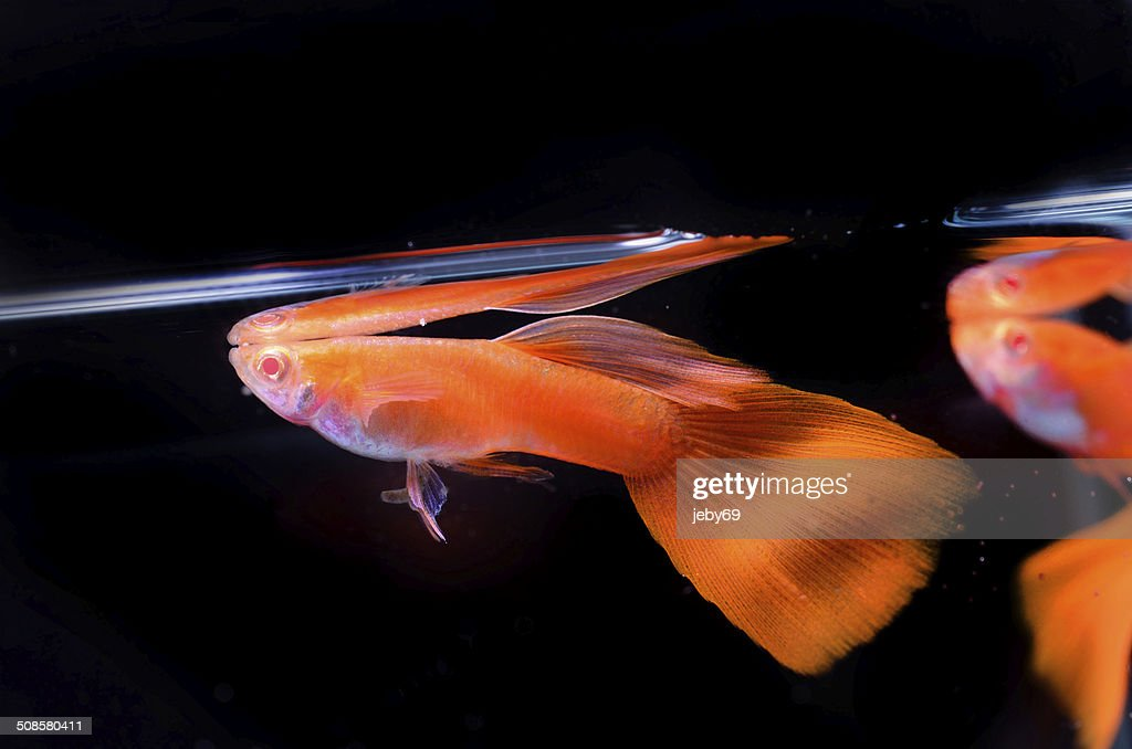 Beautiful Guppy isolated on Black : Stockfoto