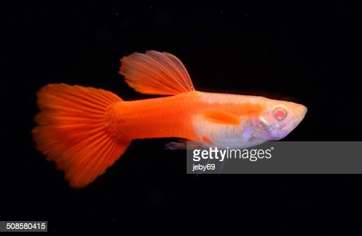 Beautiful Guppy isolated on Black : Bildbanksbilder