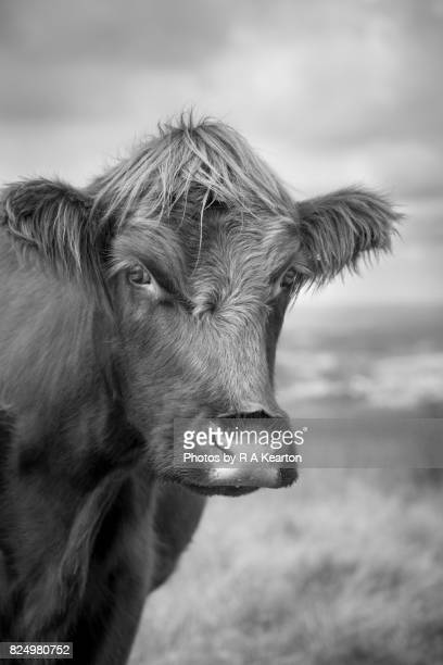 Beautiful hairy cow portrait