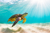 Hawaiian Green Sea Turtle Basking in the warm waters of the Pacific Ocean