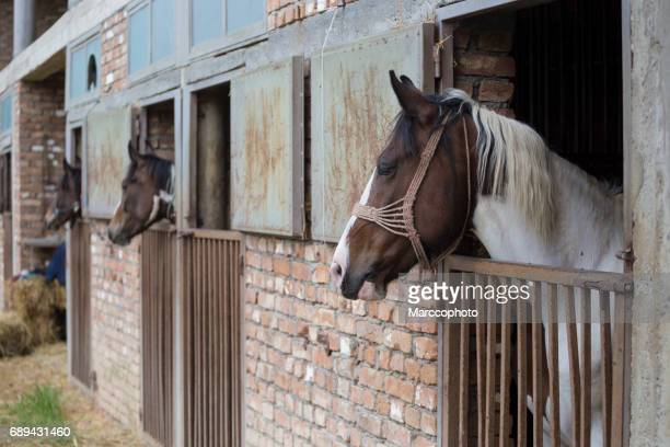 Beautiful horses inside of stable, with heads put outside