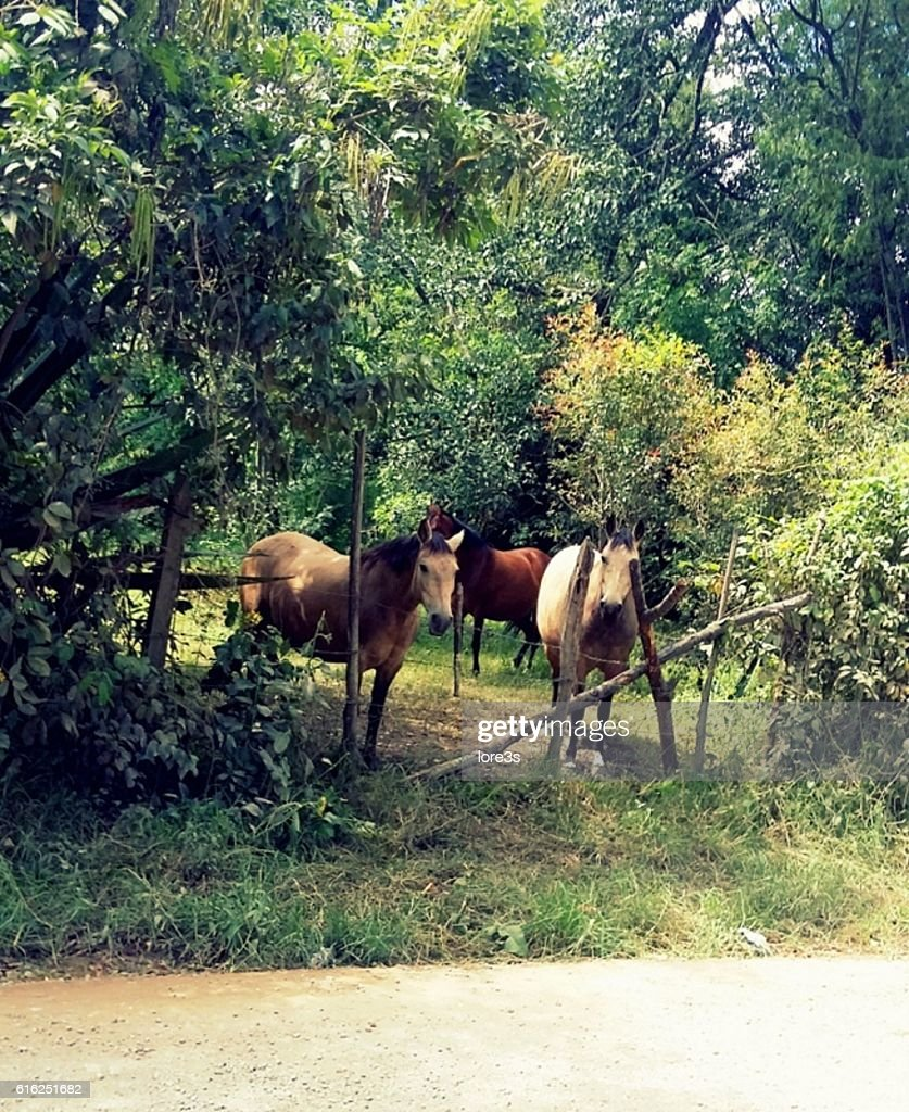 Hermosos caballos  : Foto de stock