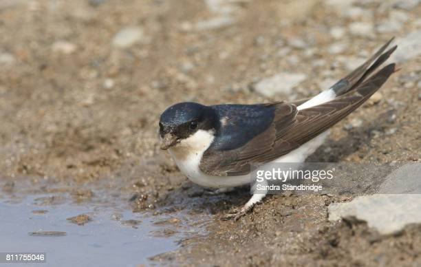 A beautiful House Martin bird (delichon urbica) sitting by the edge of a muddy puddle with a beak full of mud to make its nest.