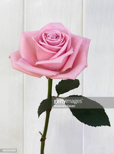 Beautiful hybrid pink rose and leaf on white