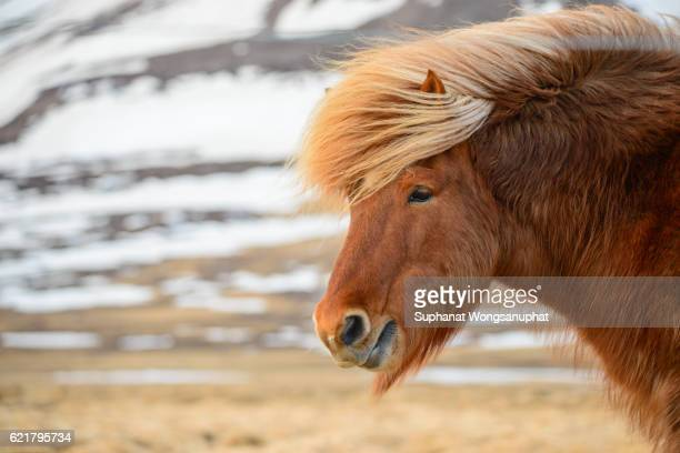 Beautiful icelandic horses in winter, Iceland