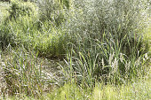 Beautiful idyllic wetland landscape with green reed near water of lake or pond with reflection wilderness