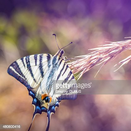 Beautiful Iphiclides podalirius butterfly on ear of corn : Stock Photo