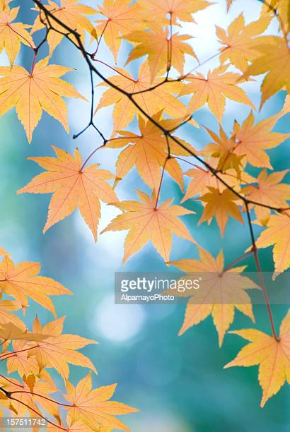 Beautiful Japanese Maple leaves - I