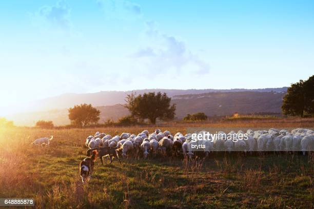 Beautiful landscape during sunset  with a flock of grazing sheep and three  sheepdogs in the countryside, Calabria,Italy