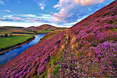 Vivid colorful landscape scenery with a footpath through the hill slope covered by violet heather flowers and green valley, river, mountains and cloudy blue sky on background. Pentland hills, near Edi